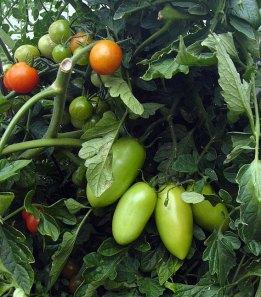 mutant-tomatoes